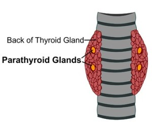 Thyroidectomy And Parathyroidectomy Dr Kapil Kochhar